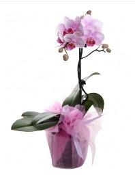 1 dal pembe orkide saksı çiçeği  Bitlis kaliteli taze ve ucuz çiçekler
