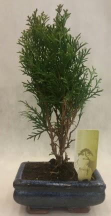 SINIRLI SAYIDA ÜRÜN Selvi Bonsai  Bitlis İnternetten çiçek siparişi
