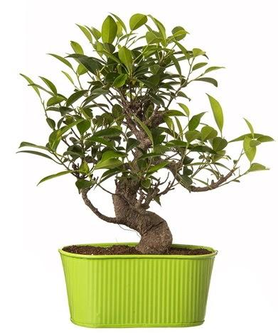 Ficus S gövdeli muhteşem bonsai  Bitlis çiçek siparişi sitesi