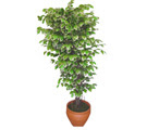 Ficus özel Starlight 1,75 cm   Bitlis cicek , cicekci