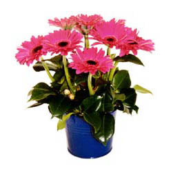 vazo içerisinde gerbera çiçekleri   Bitlis online çiçek gönderme sipariş