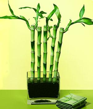 Bitlis anneler günü çiçek yolla  Good Harmony Lucky Bamboo camda