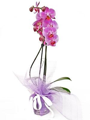 Bitlis anneler günü çiçek yolla  Kaliteli ithal saksida orkide