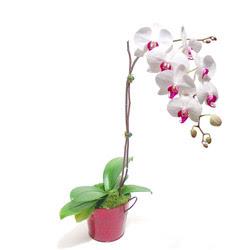 Bitlis çiçek gönderme  Saksida orkide