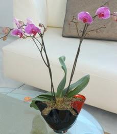 Bitlis çiçekçi mağazası  tek dal ikili orkide saksi çiçegi