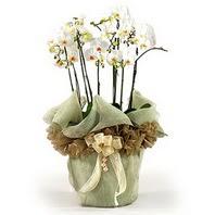Bitlis çiçek siparişi sitesi  3 dal orkide , saksi çiçegi , 3 kök orkide