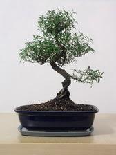ithal bonsai saksi çiçegi  Bitlis çiçek siparişi vermek