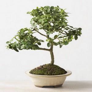 ithal bonsai saksi çiçegi  Bitlis çiçek online çiçek siparişi