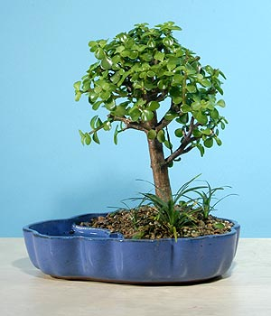 ithal bonsai saksi çiçegi  Bitlis çiçekçiler