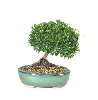 ithal bonsai saksi çiçegi  Bitlis cicekciler , cicek siparisi