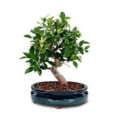 ithal bonsai saksi çiçegi  Bitlis çiçek siparişi sitesi