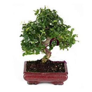 ithal bonsai saksi çiçegi  Bitlis anneler günü çiçek yolla