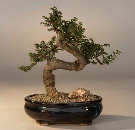 ithal bonsai saksi çiçegi  Bitlis 14 şubat sevgililer günü çiçek