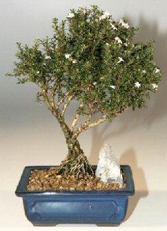 Bitlis çiçek , çiçekçi , çiçekçilik  ithal bonsai saksi çiçegi  Bitlis online çiçek gönderme sipariş