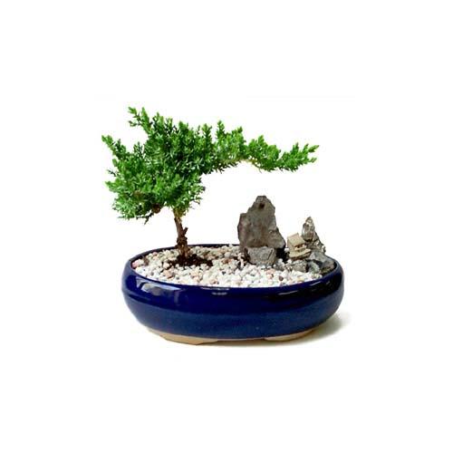ithal bonsai saksi çiçegi  Bitlis çiçek gönderme