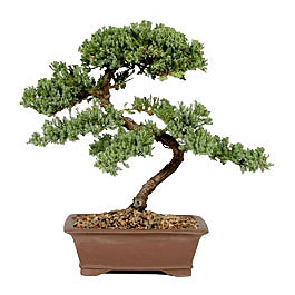 ithal bonsai saksi çiçegi  Bitlis çiçek gönderme sitemiz güvenlidir