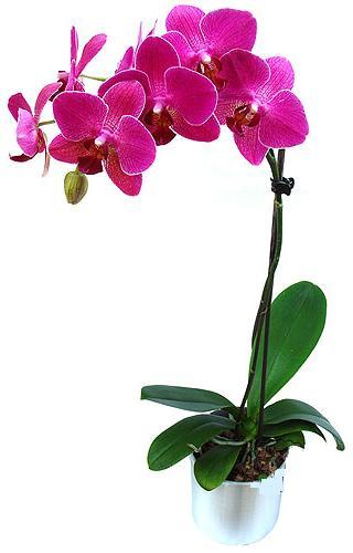 Bitlis çiçekçi mağazası  saksi orkide çiçegi