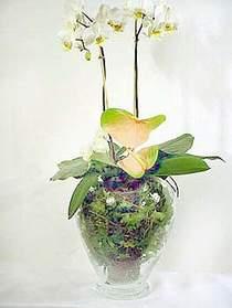 Bitlis çiçek satışı  Cam yada mika vazoda özel orkideler