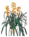 Bitlis çiçekçiler  Orchiede ithal büyük boy saksi