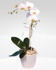 1 dallı orkide saksı çiçeği  Bitlis online çiçekçi , çiçek siparişi