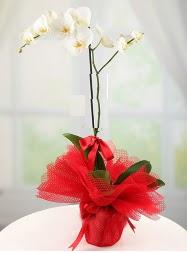 1 dal beyaz orkide saksı çiçeği  Bitlis yurtiçi ve yurtdışı çiçek siparişi