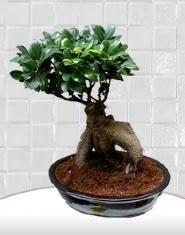 saksı çiçeği japon ağacı bonsai  Bitlis kaliteli taze ve ucuz çiçekler