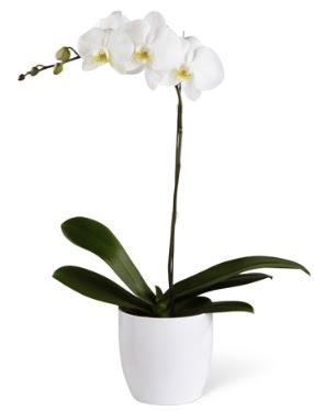 1 dallı beyaz orkide  Bitlis 14 şubat sevgililer günü çiçek