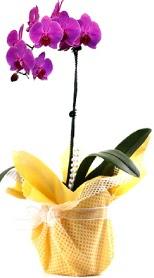 Bitlis çiçek siparişi sitesi  Tek dal mor orkide saksı çiçeği
