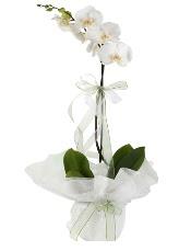1 dal beyaz orkide çiçeği  Bitlis çiçek siparişi vermek