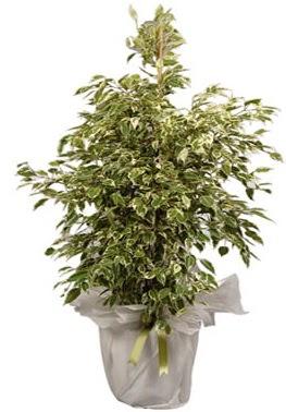 Orta boy alaca benjamin bitkisi  Bitlis internetten çiçek satışı