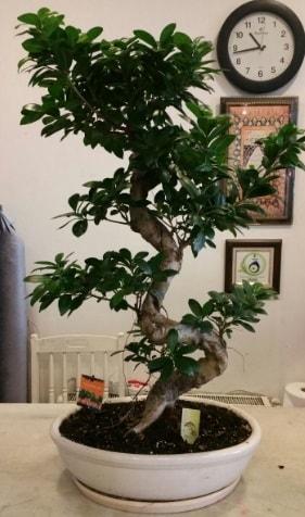 100 cm yüksekliğinde dev bonsai japon ağacı  Bitlis İnternetten çiçek siparişi