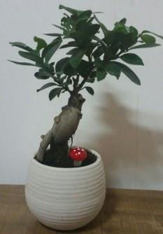 Bonsai japon ağacı saksı çiçeği  Bitlis çiçek gönderme sitemiz güvenlidir