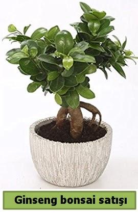Ginseng bonsai japon ağacı satışı  Bitlis çiçekçi telefonları