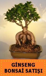 Ginseng bonsai satışı japon ağacı  Bitlis cicek , cicekci