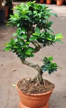 Orta boy bonsai saksı bitkisi  Bitlis internetten çiçek siparişi