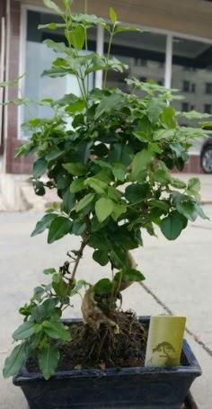 Bonsai japon ağacı saksı bitkisi  Bitlis çiçek siparişi vermek