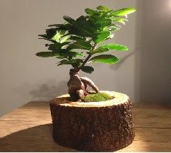 Doğal kütükte Bonsai japon ağacı satışı  Bitlis internetten çiçek satışı