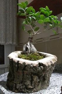Ahşap kütük içerisinde ginseng bonsai  Bitlis internetten çiçek siparişi