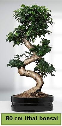 80 cm özel saksıda bonsai bitkisi  Bitlis çiçekçi telefonları