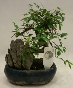 İthal 1.ci kalite bonsai japon ağacı  Bitlis çiçek satışı
