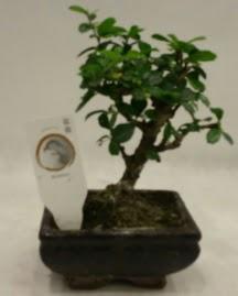 Küçük minyatür bonsai japon ağacı  Bitlis çiçek gönderme