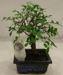 Minyatür ithal japon ağacı bonsai bitkisi  Bitlis çiçek satışı