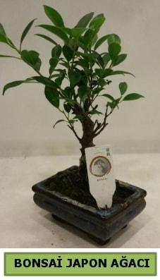 Bonsai japon ağacı saksı bitkisi  Bitlis çiçek servisi , çiçekçi adresleri