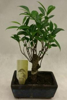 Japon ağacı bonsai bitkisi satışı  Bitlis çiçekçi telefonları