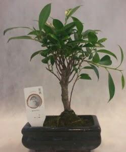 Bonsai japon ağacı bitkisi satışı  Bitlis çiçek gönderme sitemiz güvenlidir