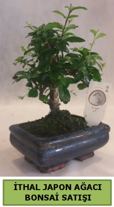 İthal japon ağacı bonsai bitkisi satışı  Bitlis çiçekçi telefonları