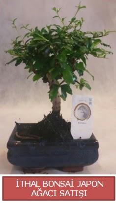 İthal küçük boy minyatür bonsai ağaç bitkisi  Bitlis çiçekçi telefonları