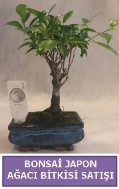 İthal Bonsai japon ağacı bitkisi satışı  Bitlis İnternetten çiçek siparişi