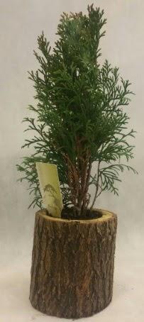 SINIRLI STOK Selvi Bonsai Doğal kütükte  Bitlis İnternetten çiçek siparişi