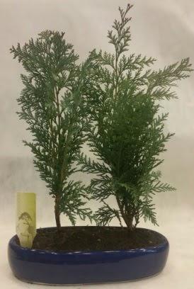 SINIRLI SAYIDA Selvi Ağacı bonsai ikili  Bitlis çiçekçi telefonları
